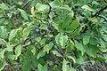 Prunus spinosa, Rosaceae 06.jpg
