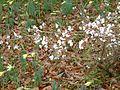 Prunus subhirtella autumnalis - Flickr - peganum (1).jpg