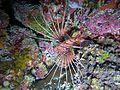 Pterois antennata (2) Maldives.JPG