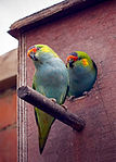 Purple-crowned Lorikeet (Glossopsitta porphyrocephala) -pair by nesting box-1cp.jpg