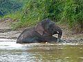 Pygmy Elephant (Elephas maximus borneensis) male (8074156186).jpg