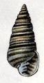 Pyramidella dolabrata 005.png