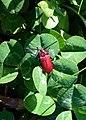 Pyrrhidium on apple-tree.JPG