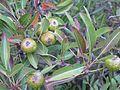 Pyrus spinosa 000 095 265 O.jpg