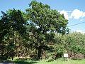 Quercus, Bachorze.jpg