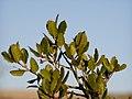 Quercus coccifera leaves.jpg