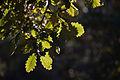 Quercus faginea Almadén.jpg