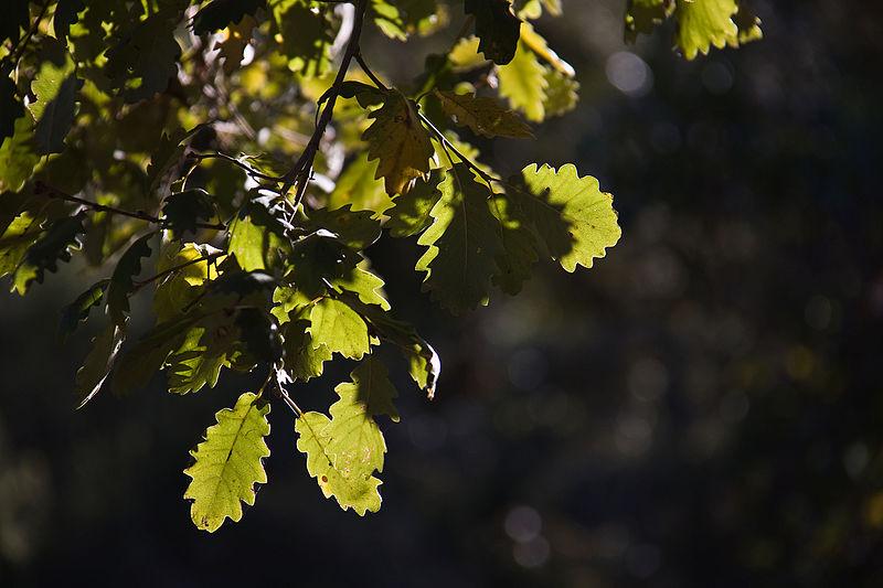 File:Quercus faginea Almadén.jpg