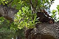Quercus pedunculiflora au Plateau des poètes001.JPG