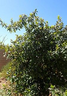 <i>Quercus polymorpha</i> species of plant