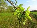 Quercus robur Bobrovnya3.JPG