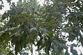 Quercus similis (24148286505).jpg