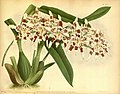 R. Warner & B.S. Williams - The Orchid Album - volume 07 - plate 292 (1888).jpg