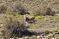R381, Loxton to Beaufort West, South Africa 13.jpg