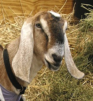 Anglo-Nubian goat - The Nubian's distinctive face