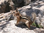 RMNP Golden-mantled Ground Squirrel.jpg