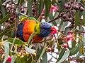 Rainbow Lorikeet (21434087035).jpg