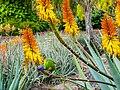 Rainbow lorikeet and Aloe sp Brisbane Botanic Gardens Mt Coot-tha P1030143.jpg