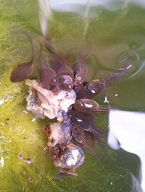Common frog - Captive common frog tadpoles eating a crushed garden snail