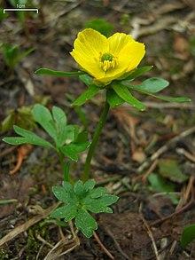 Ranunculus eschscholtzii.jpg