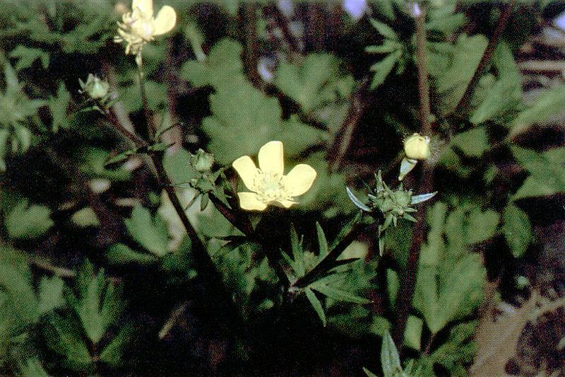 File:Ranunculus repens NRCS-1.jpg