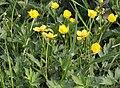 Ranunculus repens pryskyřník plazivý 2.jpg
