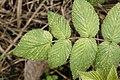 Raspberry (Rubus sp) 3738.jpg