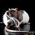 Rat Hd (158043391).jpeg