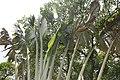 Ravenala madagascariensis 24zz.jpg
