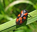 Red-and-black Froghopper - Cercopis vulnerata (18564850656).jpg