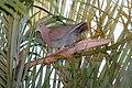 Red-billed Pigeon (Patagioenas flavirostris) (5772324878).jpg