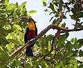 Red-breasted Toucan (Ramphastos dicolorus) -Sao Paulo.jpg