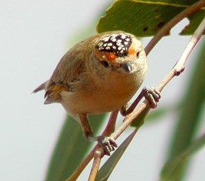 Red-browed pardalote - Image: Red browed Pardalote new 04
