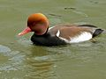 Red-crested Pochard (Netta rufina) (6950534760).jpg