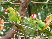 A green parrot with a red face, forehead, and shoulders, with white eye-spots