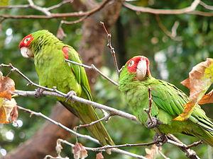 Red-masked parakeet - Image: Red masked Parakeet Aratinga erythrogenys in a tree