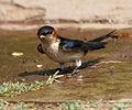 Red-rumped Swallow (Hirundo daurica) collecting mud for nest W IMG 8001.jpg