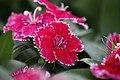Red-spring-flower-macro - West Virginia - ForestWander.jpg