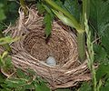 RedWingedBlackBird nest.jpg
