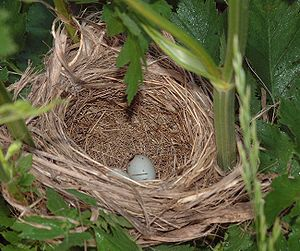 Red-winged blackbird - Nest with eggs