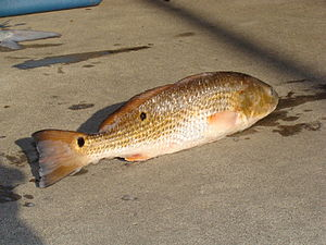 "Red drum - Mature red drum (S. ocellatus) showing characteristic spot(s) at the base of the tail: This one is not a ""bull red"" because it is shorter than 27 inches (0.69 m)."