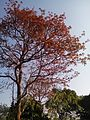 Red Leaf Tree.jpg