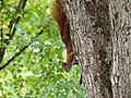 Red Squirrel climbing down a tree.jpg