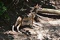Red Wolf (9055136768).jpg