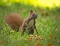 Red squirrel (37448411861).jpg