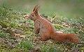 Red squirrel (47460290182).jpg