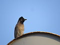 Red vented Bulbul perched on Dish Antena.JPG