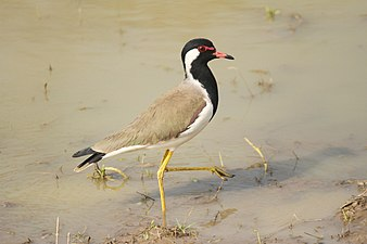 Red wattled Lapwing David Raju.jpg