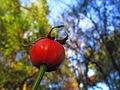 Redondo rojo (15148355931).jpg