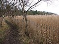 Reed beds beside the fence - geograph.org.uk - 1103371.jpg